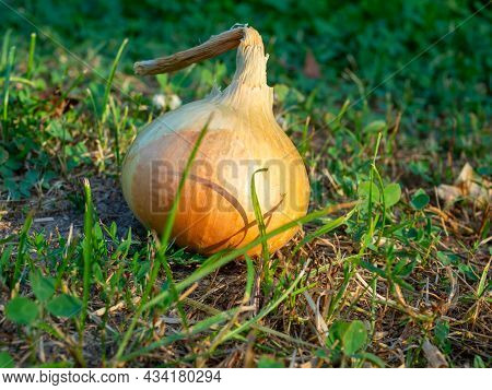 Close-up Of A Ripe Onion Bulb Lying On The Grass At Sunset. Harvesting. Vegetable, Spice
