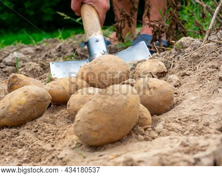 Close-up Of Digging Potatoes With A Shovel In The Field. The Concept Of Harvesting. Side View, Focus