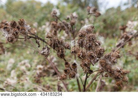 Greater Burdock. Arctium Lappa. Dry Burdock Spines In Autumn.