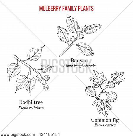 Set Of Ficus Genus Plants From Mulberry Family - Fig, Banyan And Bodhi Tree. Hand Drawn Botanical Ve
