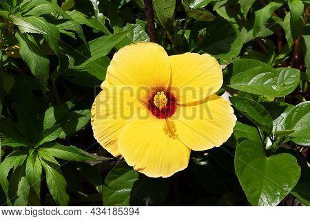 Yellow Hibiscus Flower Blooming In The Garden