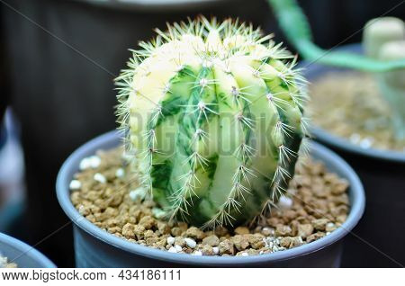 Discocactus Horstii, Discocactus Horstii Variegata Or Cactus In The Flower Pot