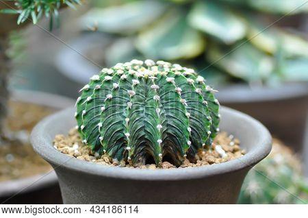Gymnocalycium ,gymnocalycium Mihanovichii Or Cactus Plant Or Succulent