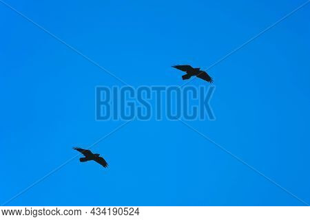 Two Black Crows Fly One After Another On The Clear Blue Sky Background. Birds In Their Natural Habit