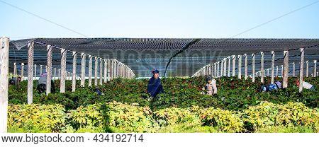 Marathon, Wisconsin, Usa, 9/6/2021: Hmong Farm Workers Harvesting Ginseng Berries, Panorama