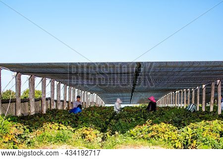 Marathon, Wisconsin, Usa, 9/6/2021: Hmong Farm Workers Harvesting Ginseng Berries, Horizontal