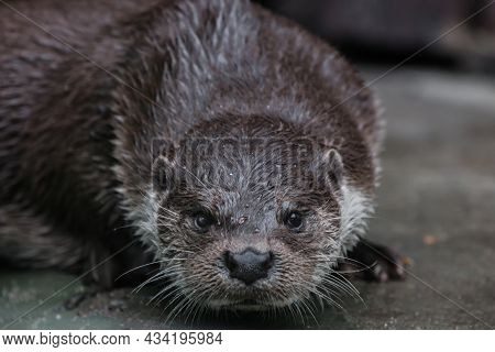 Portrait Of A Beautiful River Otter Muzzle Close-up Full Face Look At You, Ready For Anything And Lo
