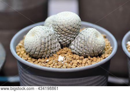 Cactus, Succulents Plant In The Flower Pot