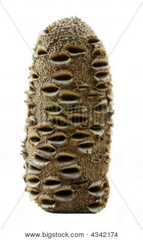 Banksia Nut