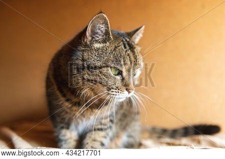 Funny Portrait Arrogant Short-haired Domestic Tabby Cat Posing On Dark Brown Background. Little Kitt