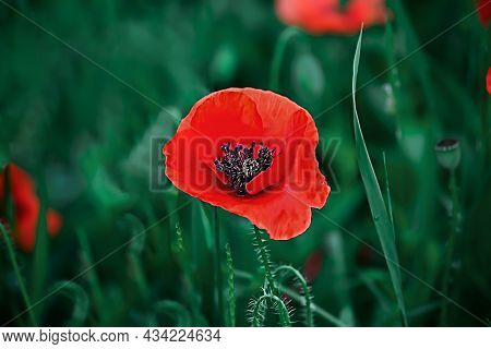A Red Poppy Is Growing In A Field Against A Background Of Green Juicy Grass. Natural Floral Backgrou