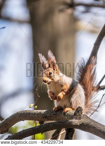 The Squirrel Sits On A Branches In The Spring Or Summer. Eurasian Red Squirrel, Sciurus Vulgaris
