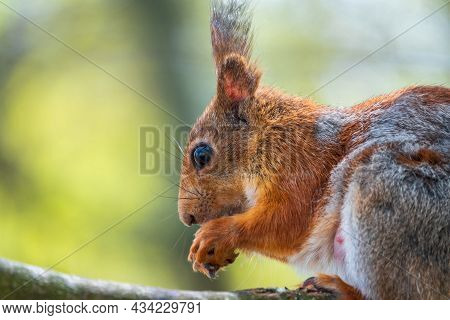The Squirrel With Nut Sits On A Branches In The Spring Or Summer. Eurasian Red Squirrel, Sciurus Vul