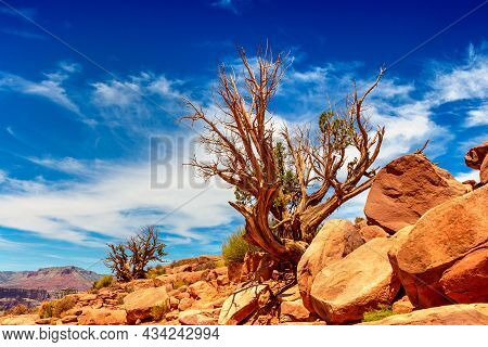 Old Dead Tree At Grand Canyon West Rim In A Sunny Day, Usa