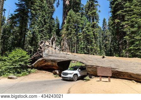 A Car Drives Thru The Tunnel Log In Sequoia National Park In California, Usa