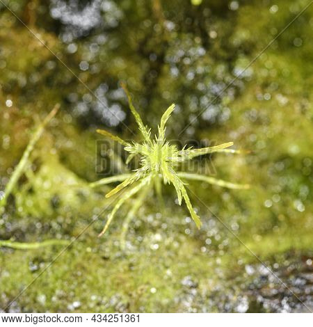 Moss Sphagnum, Individual Plant, Macro Photo With Blurred Background