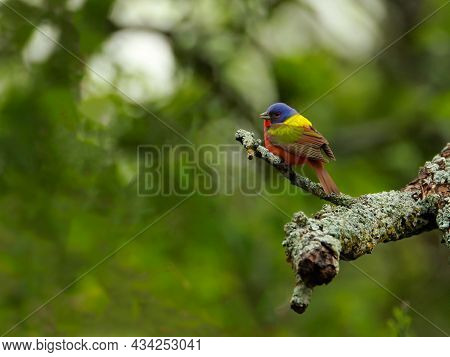 Colorful Painted Bunting Bird Perched On A Tree Limb