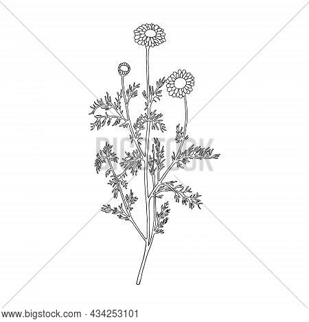 Monochrome Flower (chamaemelum Nobile). Can Be Used For Cards, Invitations, Advertising, Web, Textil