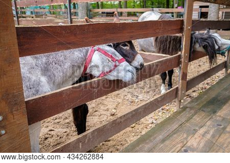Donkeys Stick Their Heads Between The Rods Of The Paddock At The Petting Zoo. Pets In A Fenced Enclo