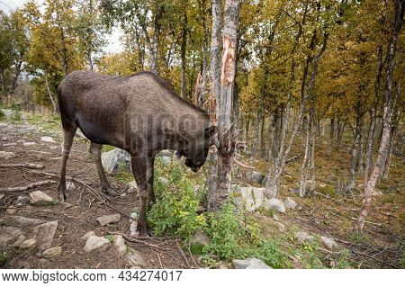 Moose Or Elk - Alces Alces - Rubbing Its Antlers Against A Tree