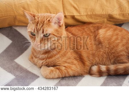 Orange And Ginger Cat Close-up Portrait. Adult Red Cat Lying On A Gray Fluffy Blanket Background. Do