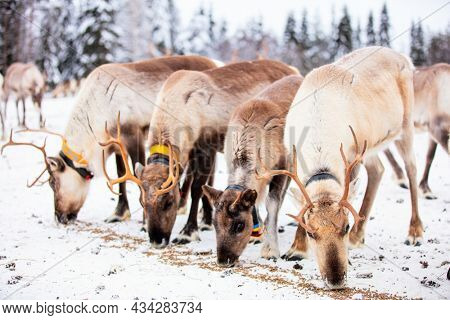 Herd of reindeer on farm in Lapland Finland on winter day
