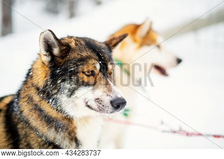 Husky dogs on winter day outdoors in Lapland Finland