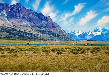 Argentina, Patagonia. Small herd of guanaco. Guanaco is a cloven-hoofed mammal from the family of camelids, a genus of llamas. Huge lake with azure water and cold mountains.
