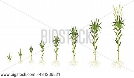 Sugarcane Cultivation. Plant Growing Process. Sweet Cane Growth Steps Sequence. Green Stem With Leav
