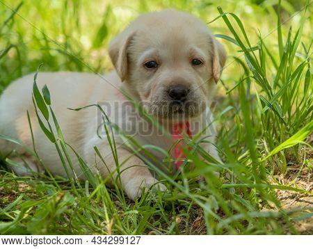Labrador puppy portrait, beautiful little dog in the green grass