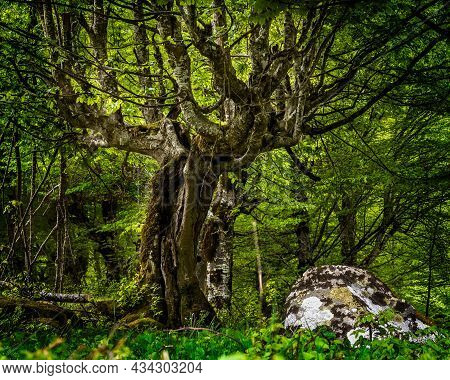 Magical Tree Deeply In The Forest, Green Summer Forest And A Rock