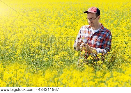 Middle Aged Caucasian Male Farm Worker Inspecting Canola Stalks At Field Sunny Summer Day