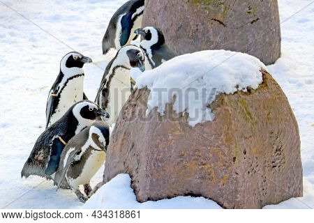 Funny Beautiful Penguins Stand On The White Snow