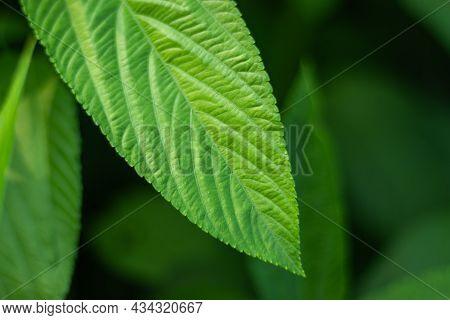 Tossa Jute, Leaf Or Corchorus Olitorius, Also Called Jew's Mallow, Bush Okra, Nalta Jute, Or Jute Ma