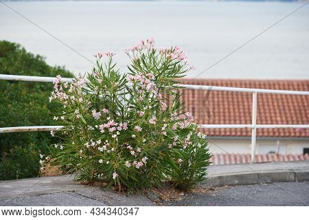 Blooming Oleander Bush Grows Out Of The Asphalt By The Road. Struggle Concept