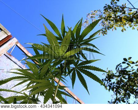 Cannabis Growing By The Fence In The Garden, Bottom View, Illegal Marijuana Among Garden Plants, Hem