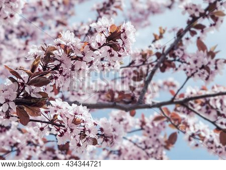 Cherry Blossoms. Beautiful Natural Spring Background. Blooming Spring Flowers, Green Leaves On Light