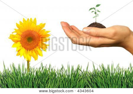 Fresh Elements Of Spring: Grass, Seeling And Sunflower