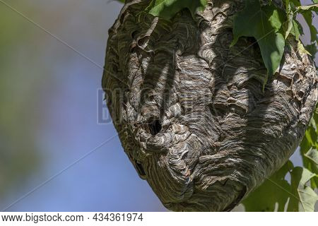Bald-faced Hornet ( Dolichovespula Maculata ) Nest On A Tree In The Park. Species Of Wasp Also Knows