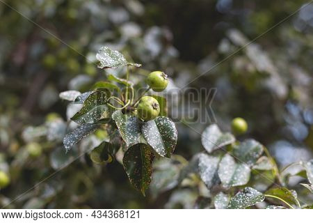 Wild Pear With Infected Leaves. Disease On The Leaves Of A Pear. Septoria Pear - Small Gray Spots Wi