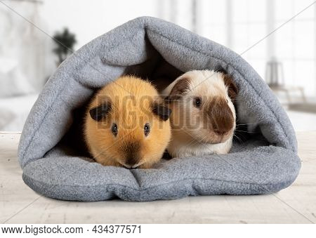 Two Lovely Guinea Pigs Are Sitting In Their House Indoors