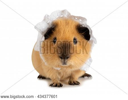 Nice Red-haired Guinea Pig In A Sleeping Cap Isolated On A White Background