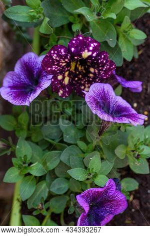 Petunia Flowers. Deep Blue Color Flowers And Velvety Blue-purple Sprinkled With Yellow And White Spo