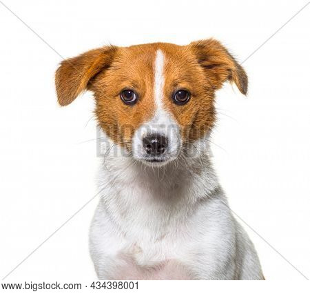 Border Jack is a new breed,  Mixed breed between a border collie and a jack russel. Young dog, Isolated