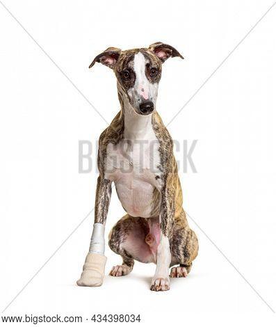 Injured whippet dog sitting, bandaged paw,  isolated on white