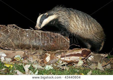 European Badger (Meles meles) at night sniffing a log