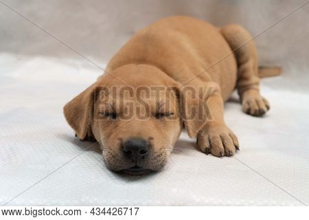 Sleeping Brown Puppy Dog Falls Asleep Lying On The Floor As Holiday Vacation And Lazy Concept With C