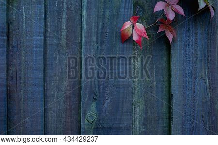 Wooden Fence With Climber Autumn Red Leaves In Garden,background Dark Wood Wall With Vine Plant, Bac