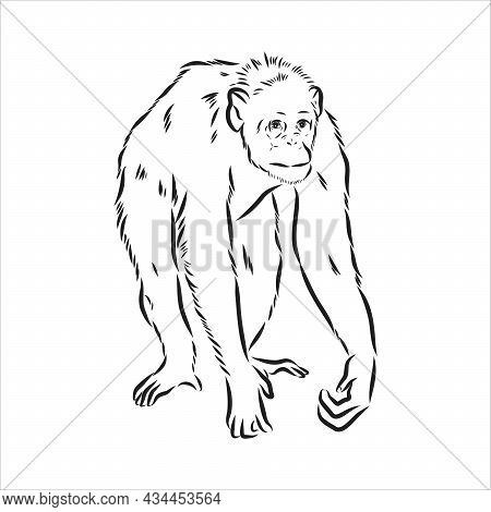 Hand Drawn Sketch Style Illustration Of Monkey Face. Chinese Zodiac Sign. Young Chimpanzee. Vector I