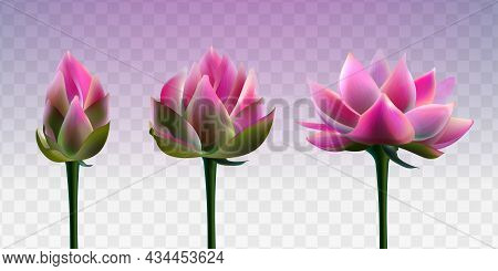 Set Of Beautiful Pink Lotus Flowers On Transparent Background. Realistic Vector Water Lily Or Aquati